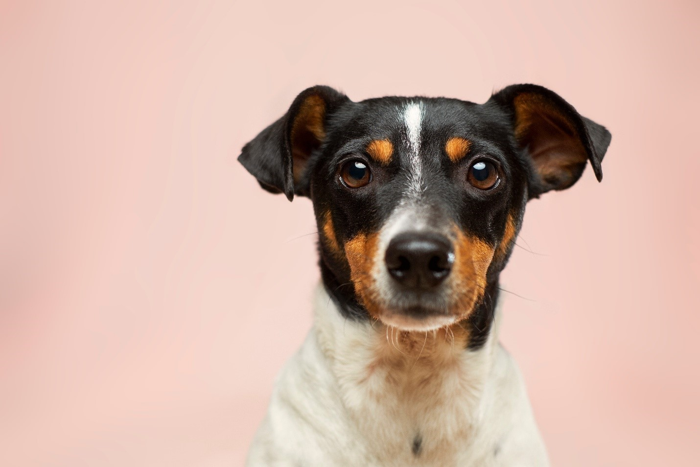 A dog sitting in front of pink background